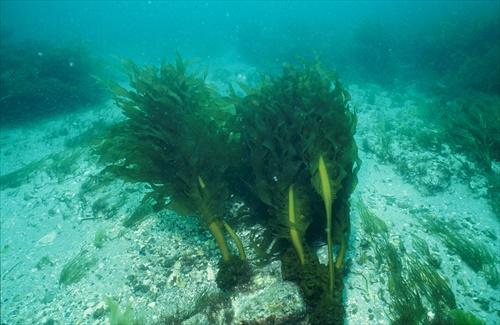 海藻のイメージ